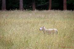 163/365 - Return of the sheep