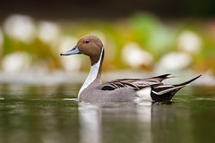 Rare Visitor... (DTT67) Tags: pintailduck pintail drake duck waterfowl bird maryland 1dxmkii canon nature wildlife