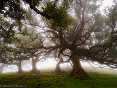 Madeira / Lorbeerwald (rschubert98) Tags: olympus landscape tree nature dust nebel mzuiko124028pro hügel madeira hill lorbeerwald naturephotography