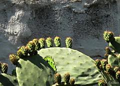Chumbera (Franco D´Albao) Tags: francodalbao dalbao canonpowershotg10 cactus chumbera planta frutos fruits higoschumbos muro wall
