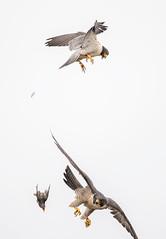peregrine and stariing 5 (knobby6) Tags: peregrine falcon tiercel hawk birdofprey california nikond5 500mm