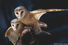 Effraie des clochers (Quentin Douchet) Tags: effraiedesclochers faune lesaiglesdesrempartsprovins nature tytoalba westernbarnowl animal bird chouette chouetteeffraie fauna oiseau owl