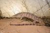 Desert Monitor (Varanus griseus) - כח אפור (shanicy) Tags: eptile monitor varanus herping negev desert wildlife לטאה ענקית explored dragon