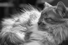 (Light Echoes) Tags: sony a6000 2017 winter february cat chat kot gatto feline pet katze kat kalo котка gato gate gat animal 고양이 γάτα kočka 貓 القط kass kissa חתול बिल्ली miv macska kucing 猫 vighro kaķis katė qattus katten گربه pisica кошка mačka katt แมว kedi кішка بلی mèo cath rescue longhairdomestic randall monochrome blackwhite blackandwhite bw slrmagic50mmf11cine focusstacking