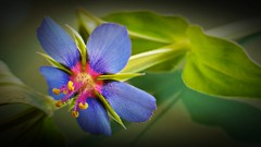 Anagallis foemina (Marina Is) Tags: macromondays hmm flor flower azul blue macrofotografia