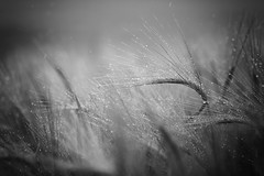 Black and White Barley (aveyardphotography) Tags: barley mono monochrome blackandwhite nature rain light soft shallow focus farming wet