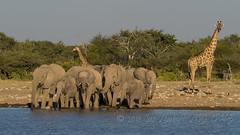 Seven plus Two (actually 8 - baby is hidden) (Nanooki ʕ•́ᴥ•̀ʔっ) Tags: etoshanationalpark namibia ©suelambertlrpscpagb savannaafricanelephant elephant waterhole africa giraffe
