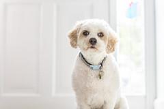 ... Ollie ... (jane64pics) Tags: ollie dog pet petdog cavachon canine companion janefriel janefriel2018 greystonescameraclub gcc
