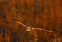 Short-eared Owl (mbrown IN) Tags: michael brown shorteared owl sullivan cty indiana seow8984