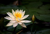 NZ Water Lily 3-0 F LR 5-27-18 J133 (sunspotimages) Tags: waterlily waterlilies flower flowers nature lily lilies