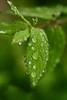 Refresh (flashfix) Tags: june042018 2018inphotos ottawa ontario canada nikond7100 40mm flashfix flashfixphotography macro 2minutemacro nature mothernature droplets rainy raindrops water bokeh plant leaf green