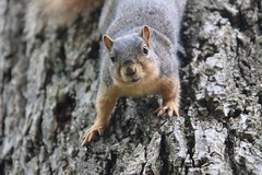 Squirrels in Ann Arbor at the University of Michigan (June 5th, 2018) (cseeman) Tags: gobluesquirrels squirrels annarbor michigan animal campus universityofmichigan umsquirrels06052018 spring eating peanut juneumsquirrel juveniles juvenilesquirrels yawn squirrelyawn foxsquirrels easternfoxsquirrels michiganfoxsquirrels universityofmichiganfoxsquirrels