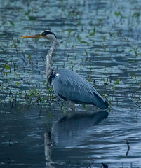 Grey heron (xDigital-Dreamsx) Tags: bird nature wildlife water