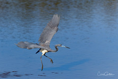 I Feel Like Dancing! (craig goettsch) Tags: sanibel2018 tricoloredheron bird avian wildlife nature blue reflection nikon d850