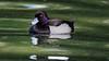 Tufted Duck / Fuligule Morillon (Franck Zumella) Tags: tufted duck green black white bird lake oiseau lac eau water fuligule morillon male femelle wildlife animal nature 오리 canard