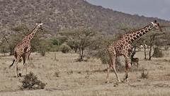 Reticulated Giraffes (Giraffa camelopardalis reticulata) (Susan Roehl) Tags: kenya2015 samburunationalreserve eastafrica reticulatedgiraffe giraffacamelopardalisreticulata somaligiraffe caninterbreedwithothersubspecies ninegiraffesubspecies sueroehl naturalexposures photographytours panasonic lumixdmcgh4 100300mmlens handheld animal mammal herbivore ungulates grass giraffe tree coth5 ngc
