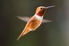 Rufous Hummingbird (jeff's pixels) Tags: rufous hummingbird bird nature animal highspeed bokeh closeup macro nikon d850 wings eye
