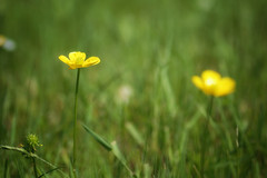Two Dots (Alfred Grupstra) Tags: nature flower meadow grass yellow summer springtime plant outdoors greencolor field beautyinnature wildflower season ruralscene freshness closeup growth day nopeople