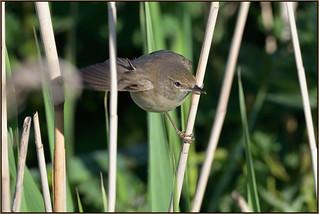 Reed Warbler (image 1 of 2)
