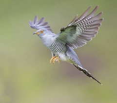Cuckoo (Nigey2) Tags: wings flight northumberland birds bird cuckoo