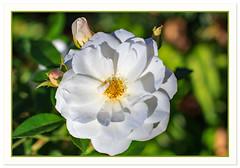 Have a rosy weekend everyone! (Johann (Sasolburg, RSA.)) Tags: rose roos flora pspprisesurprisefleurflower makemesmile canoneos60d canonef50mmf14usm johanndejager 50mm coth5 greatphotographers