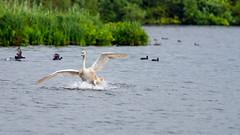 Beginner splashdown (Alexandre LAVIGNE) Tags: hdpentaxdfa150450mm louisengival pentaxk1 cygne amerrissage eau foulques juvénile k1 nature oiseau étang saintquentin picardiehautsdefrance