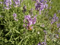 2018-05-29-14531 (vale 83) Tags: lavender nokia n8 friends coloursplosion colourartaward