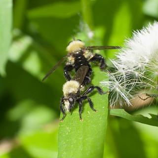 Laphria flavicollis
