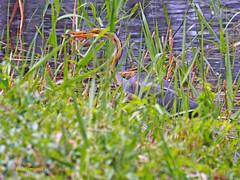 Garza imperial (Ardea  purpurea) (144) (eb3alfmiguel) Tags: aves acuaticas ciconiiformes ardeidae de garza imperial ardea purpurea pájaros hierba pájaro animal agua