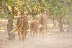 Kickin' up dust (jackielynn831) Tags: nikon arizona mustang stallion mare horse saltriverwildhorses desert nature wildhorse