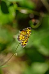 DSC00906.jpg (joe.spandrusyszyn) Tags: orlando crescent nature lepidoptera insect animal shinglecreekregionalpark unitedstatesofamerica phyciodes butterfly phyciodestharos byjoespandrusyszyn pearlcrescent nymphalidae florida arthropod shinglecreek