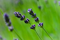 Garden timer (Karen McQuilkin) Tags: gardentimes lavender purple almost summer yard garden emotionalconnections