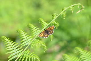 Heath Fritillary (Melitaea athalia) - 1 of 3
