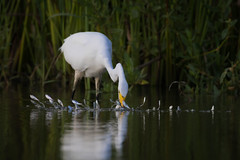 Buffet Line (gseloff) Tags: greategret bird feeding baitfish menhaden water wildlife nature animal bayou armandbayou pasadena texas kayak gseloff