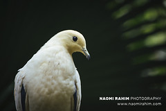 Pied Imperial Pigeon - Jurong Bird Park, Singapore (Naomi Rahim (thanks for 3.9 million visits)) Tags: singapore 2017 jurong jurongbirdpark asia bird wildlife nature sanctuary leaves tree tropical yellow dove pigeon piedimperialpigeon
