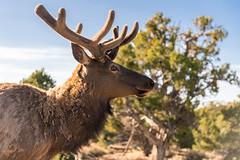 Elk with new horns (Gordon Magee) Tags: grandcanyon elk