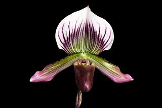 Paphiopedilum Maudiae 3N