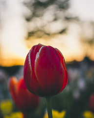 Glowy Red and Sunset (patviau) Tags: tulip spring bloom flower nature sunset sunshine ottawa bokeh colorful colourful