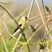 DSC_8822.jpg American Goldfinch, Yolo Bypass