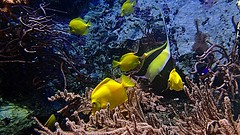 Yellow Fish (YᗩSᗰIᘉᗴ HᗴᘉS +17 000 000 thx) Tags: yellow fish poisson aquarium pairidaiza zoo hensyasmine namur belgium europa aaa namuroise look photo friends be wow yasminehens interest intersting eu fr greatphotographers lanamuroise tellmeastory flickering