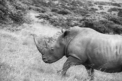 Uphill Battle (zenseas) Tags: whiterhinoceros wild workingholiday workingvacation whiterhino southafrica southernwhiterhinoceros vacation africa holiday ceratotheriumsimum monochrome bw blackandwhite