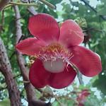 ดอกสาละ / SALA Flower :: (Shorea Robusta) is the same tree that the mother of Siddhārtha Gautama or #Buddha used to hold while she gave birth (according to the legend) thumbnail