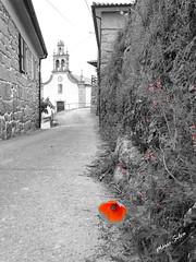 Águas Frias (Chaves) - ... a papoila vermelha, espreitando a igreja ... (Mário Silva) Tags: aldeia águasfrias chaves trásosmontes portugal ilustrarportugal madeinportugal máriosilva junho 2018 primavera flores flor florcampestre flora vermelha cutout