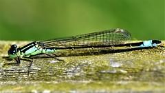 Blue-tailed damselfly (42jph) Tags: 105mm f28g edif afs vr micro lens nikon d7200 macro insect damselfly uk england druridge pools northumberland closeup bluetailed blue tailed