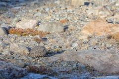 20. Lago de los Tres, El Chaltén, Patagonie Argentine-13.jpg (gaillard.galopere) Tags: 200mm 2018 300mm 5d 5dmkiii 70300mm apn americadelsur amériquedusud argentina argentine canon elchalten foto gaillardgalopere gaillardgalopère galopere galopère lis lens overland overlander overlanding patagonia patagonie photo southamerica travel automne ave aves bird birdwatching birds caché camera camouflage cámara hide lagodelostres latinamerica longlens mkiii montagne montaña mountain oiseau oiseaux outdoor photographie photography reflex relief teleobjectif telezoom téléobjectif télézoom wwwgaloperephotocom zoom