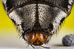 Entomology... (Altazur) Tags: fly macro macrophotography insect entomology closeup 7dwf simetry abstractmacro abstract nature bristles