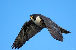 Peregrine Falcon (f)