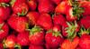 Strawberry (Fragaria ananassa) party (Baburam Bhattarai) Tags: strawberry fruit fragaria ananassa kaist culture tradition university abstract spring festival