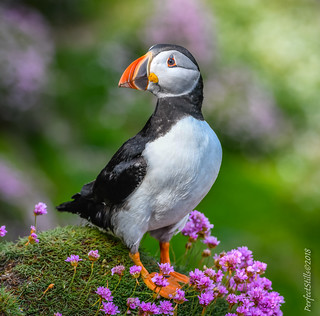 A Puffin Hangin out!