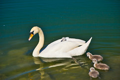 Swan mama and her little ones (echumachenco) Tags: swan bird animal baby young water lake june salzachsee salzburg austria österreich nikond3100 nature fauna
